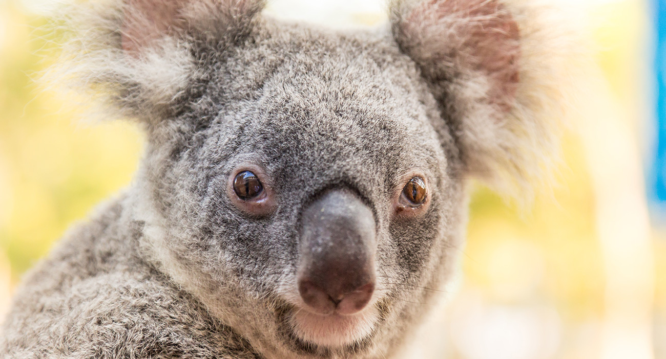 You can find Koalas on the Gold Coast.