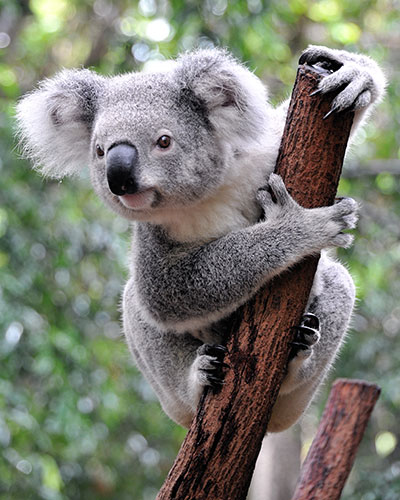 Photograph of koala in tree